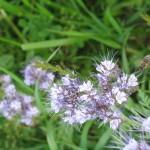 Bienenfutter Phacelia