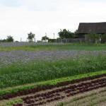 Salat und Gründüngung Phacelia