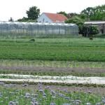 Rauhwollig Pommersche Landschafe vor dem Gewächshaus