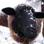 Schaf mit Schneenase
