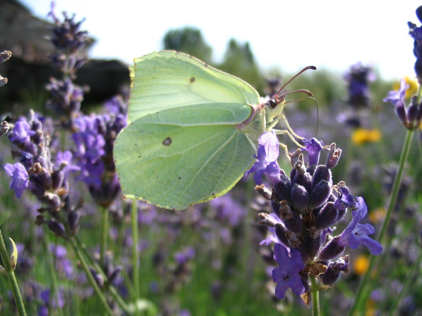 Schmetterling am Lavendel